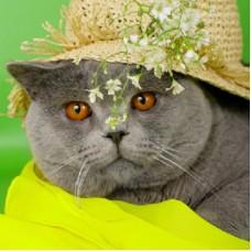 """Алмазная мозаика """"Британский кот в шляпе"""", блестящая, 22х32 см (с подрамником, с полным заполнением)"""